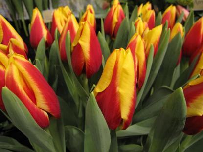 bettina-wulff-tulpea
