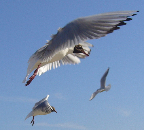 Möwen im Flug - Seagulls
