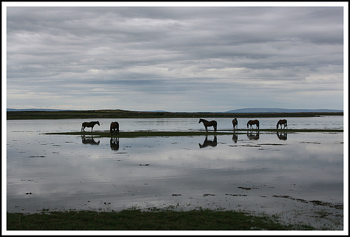 Horses ignoring the tide