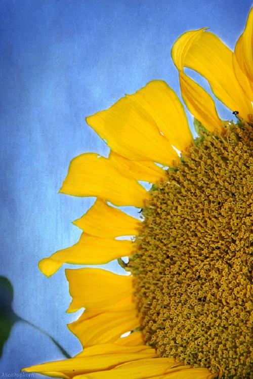 Cornelia Kopp - Sunflower